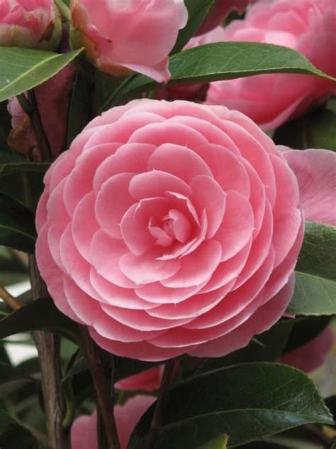 pink perfection camellia beautiful quot pink perfection quot camellia fabulous flora pinterest