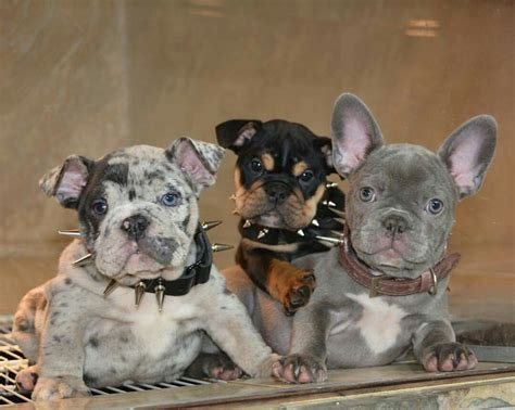 Bully family french bulldog and english bully rare color ...