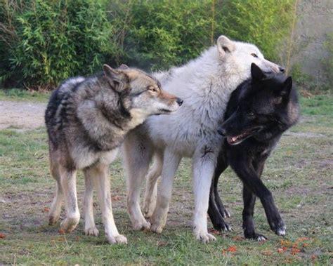Best 25+ White Wolves Ideas On Pinterest