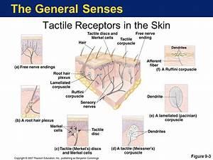 The General Senses Sensory Basics