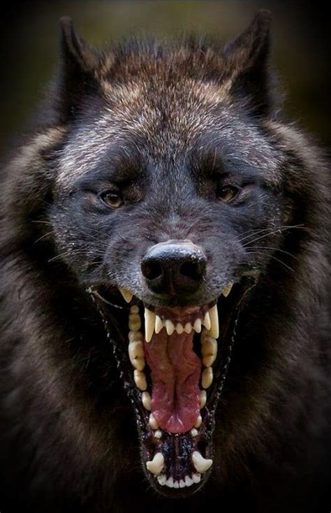 truth   yawning angry wolf wolf  animals