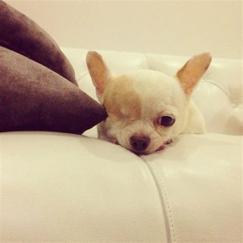 le chien le  cute au monde avec son gros oeil  sa