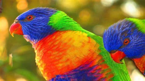 rainbow lorikeet pair close profile wallpaper hd