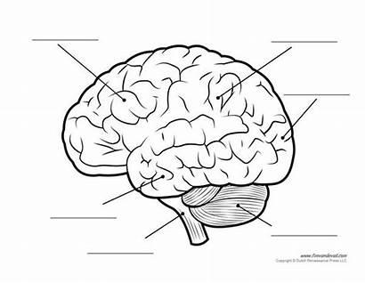 Brain Diagram Human Blank Labeled Anatomy