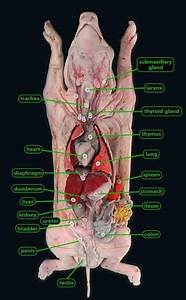 Pig Dissection Diagram