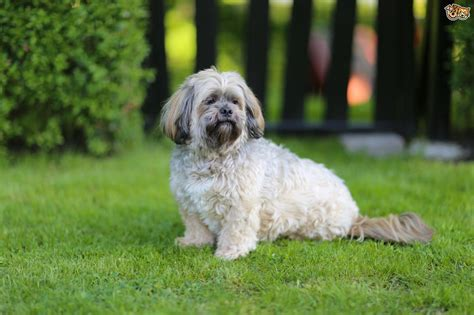 lhasa apso breed shedding lhasa apso grooming styles pictures breeds picture