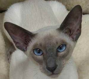Blue Point Siamese | My Style | Pinterest