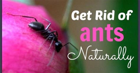 how to get rid of small ants in kitchen how to get rid of ants naturally house and carpenter ants