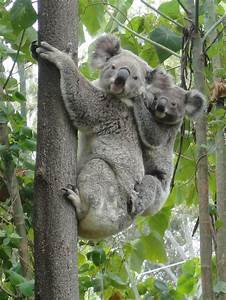 The 25+ best Koala australia ideas on Pinterest | Koalas ...