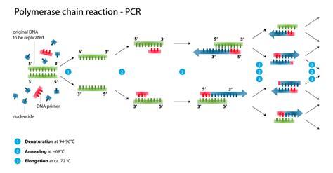 bureau de la pcr pcr the polymerase chain reaction society for mucosal immunology