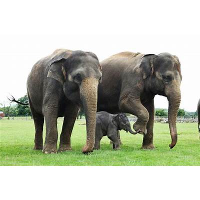 Fantastica Animal: Charactheristics of Asian Elephant