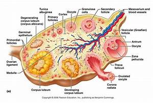 Ovary Of Female