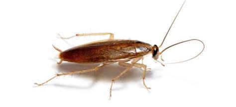 pi 232 ge 233 cologique pour cafards et blattes rem 232 des de