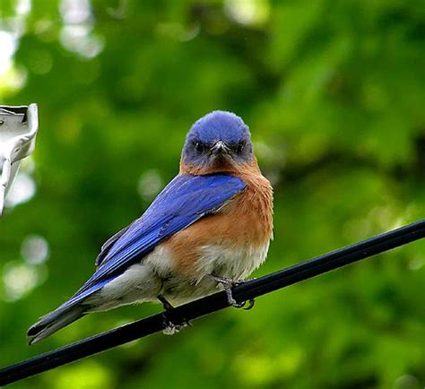 how to attract and keep bluebirds in your yard and gardens