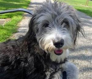 The 25+ best Australian shepherd poodle mix ideas on ...