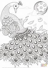 Coloring Peacock Adults Printable Popular sketch template