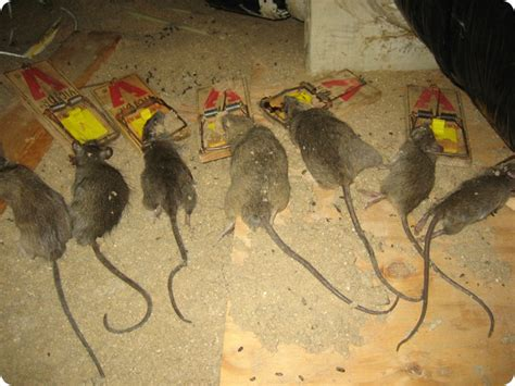 how to kill rats in the attic or house