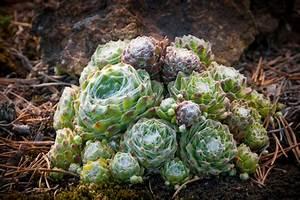 Die Schönsten Steingärten : steingartenpflanzen winterhart diese pflanzen vertragen frost ~ Bigdaddyawards.com Haus und Dekorationen