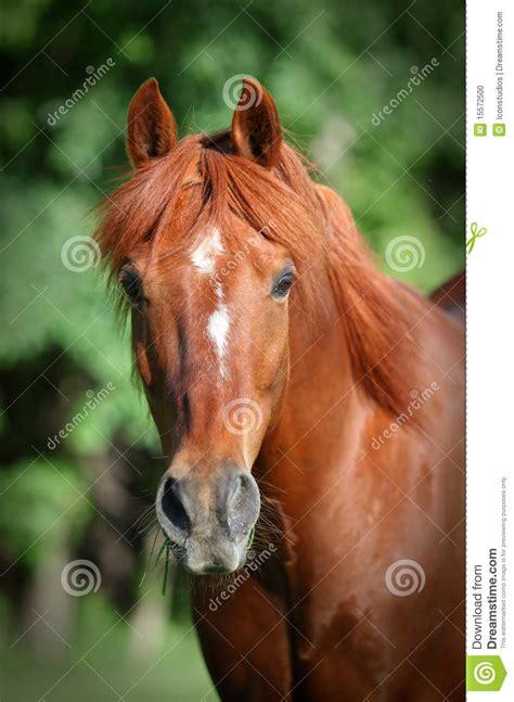 chestnut horse head shot stock photo image