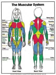 Laminated Muscular System Anatomy