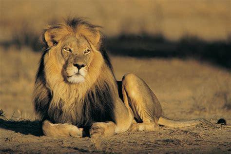 maasai   lions learnenglish teens british