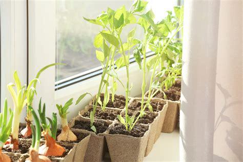 tomaten in der wohnung züchten gem 252 segarten in der wohnung 187 so halten sie ihn auf der fensterbank