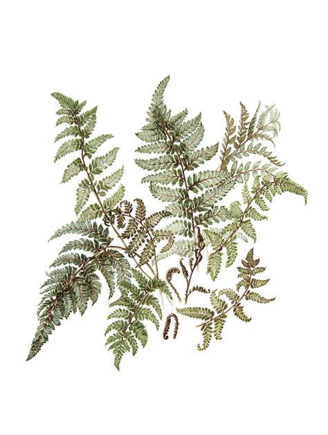 drawn fern botanical illustration pencil   color