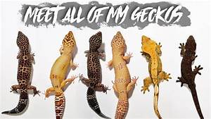 All Of My Geckos      Age  Morph  Size  Shop Or Breeder