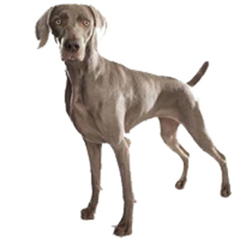 do weimaraner puppies shed best treats or chews for weimaraners see what real