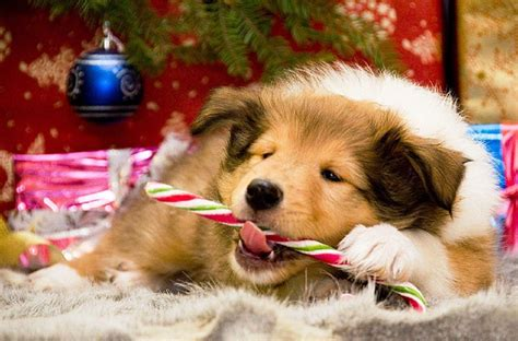 Tons of awesome christmas dog wallpapers to download for free. Christmas Dogs Wallpapers - Wallpaper Cave