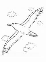 Coloring Albatross Albatros Ausmalbilder Birds Coloringbay Ausdrucken Malvorlagen Kostenlos Zum Tiger Template Flying Animals sketch template