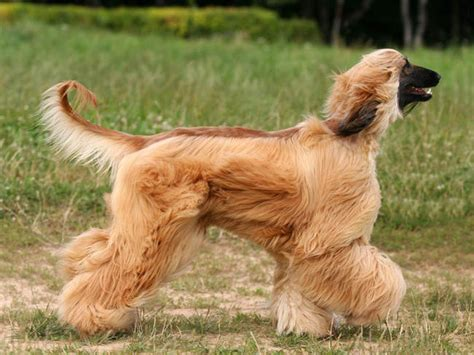 What Dogs Do Not Shed Hair by Photo Chien L 233 Vrier Afghan 5252 Wamiz