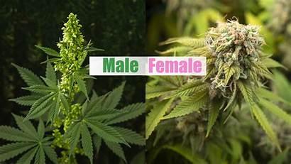Male Female Cannabis Plant Marijuana Guide Sexing
