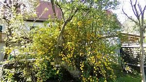 Kleiner Baum Garten : schwarzer holunder fliederbeere ein kleiner baum oder ~ Lizthompson.info Haus und Dekorationen