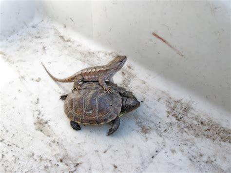 matthew fels missouri prairie lizard and box turtle