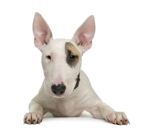 pet carriers bull terrier