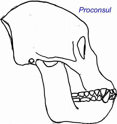 Proconsul Apes Ape Primates Miocene Evolution Oreopithecus