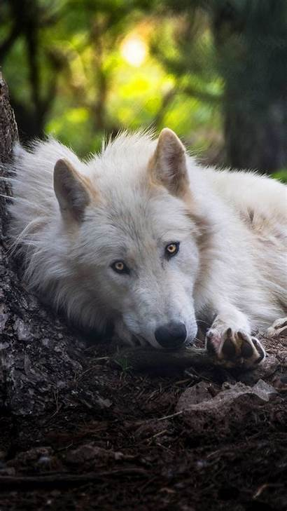 Wolf Iphone Wallpapers Animals Wolves Hdqwalls Backgrounds