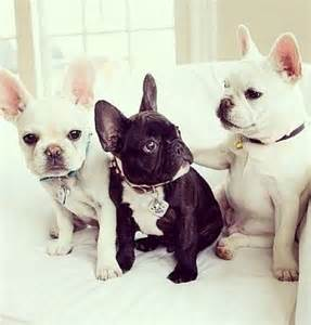 Teacup French Bulldog Puppies