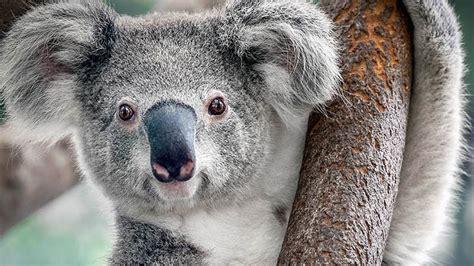 le koala n est pas si mignon zapping sauvage