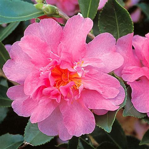camellia d automne camellia sh 244 wa no sakae p 233 pini 232 res