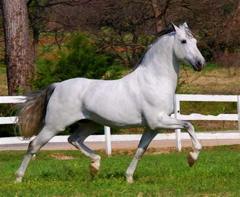 andalusian horse breeds horses breed most head movement grey popular strong localriding weneedfun war riding famous tail things muscular build