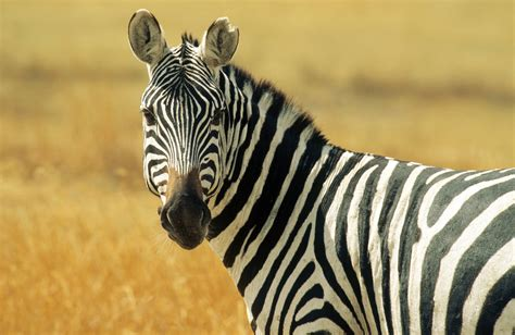 Zebra: The New Red Meat