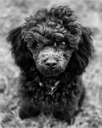Poodle - About the Breed - TEMPLE CITY POODLES