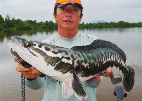 channa micropeltes giant snakehead pet world and the