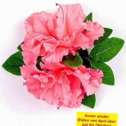 rhododendron durch stecklinge vermehren rhododendron durch ableger vermehren zuk 252 nftige projekte garden plants und bloom