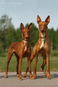 Pharaoh Hounds: This breed can trace its origin back to
