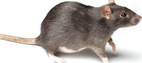 was fressen ratten gerne haustier serie die ratte duda news