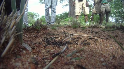army ants attack termites  africa youtube