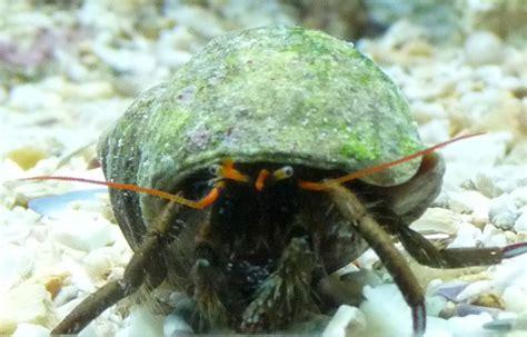 bernard l hermite aquarium recifal ou vit normalement ce bernard l hermite recherche skytopic
